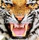 Tygr01